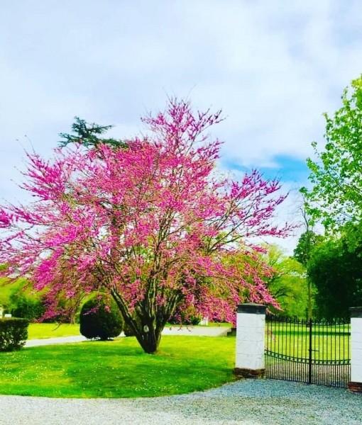 Lilas_sasha_jardin